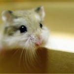 campbell's russian dwarf hamster care