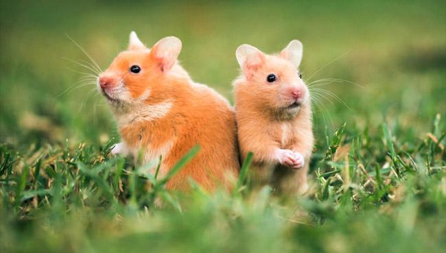 syrian hamsterslife span