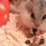 russian dwarf hamster diet