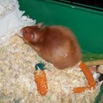 syrian hamster reproduction