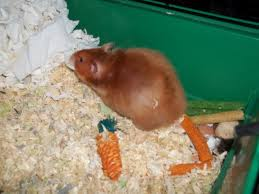 syrian hamsters pregnant