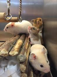 syrian hamstersliving together