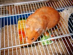 syrian hamsters food