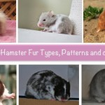 syrian hamsters for sale