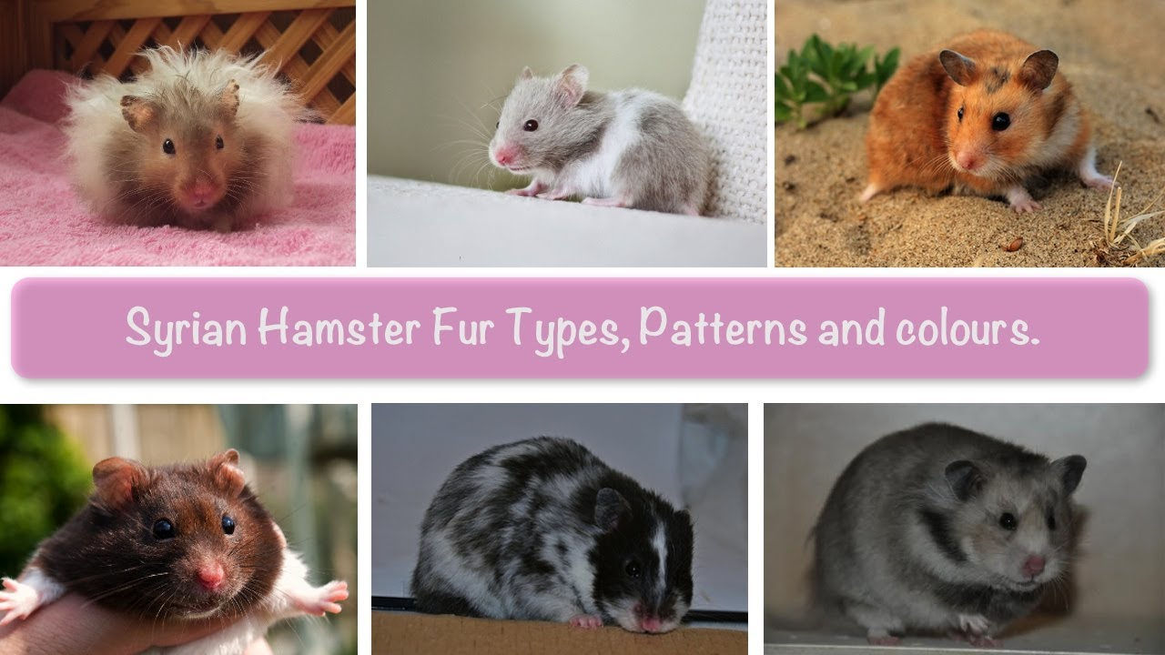 13. syrian hamsters types