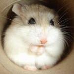 russian dwarf hamster at petsmart