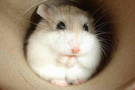 campbell russian dwarf hamster for sale