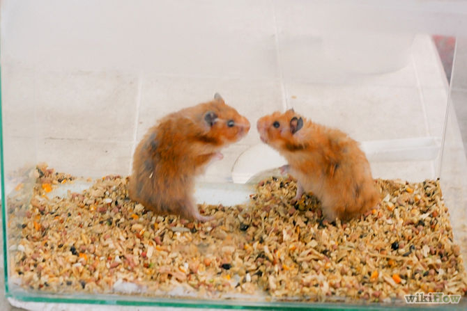 syrian hamsters fighting