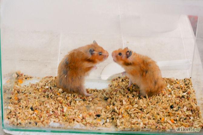 syrian hamstersfighting