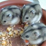 russian dwarf hamster at petco