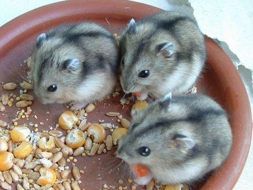campbell's russian dwarf hamster diet