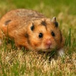 syrian hamsters names