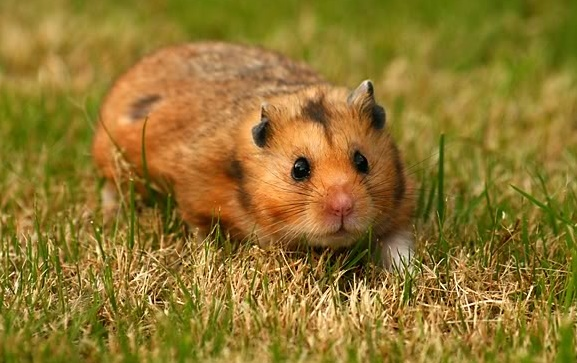 syrian hamsters in the wild
