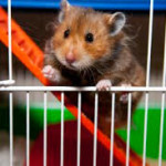 syrian hamsters pets at home