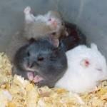russian dwarf hamster behavior