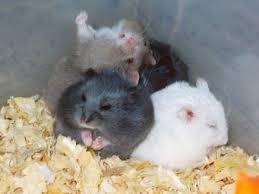 russian dwarf hamster behaviour