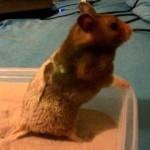 syrian hamstersorigin