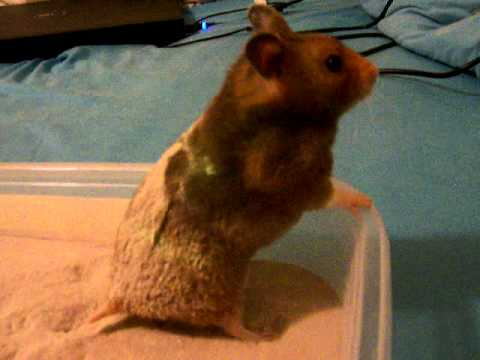 syrian hamster sand bath