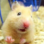 syrian hamsters sale