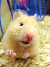 syrian hamstersnails