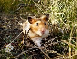 syrian hamstersnatural environment