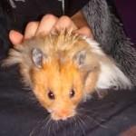 syrian hamster names female