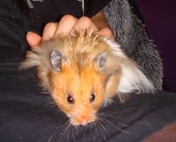 syrian hamsterssize
