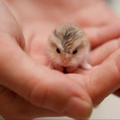 russian dwarf hamster care tips