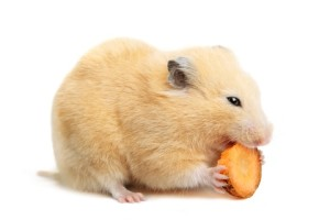 can a hamster eat carrots