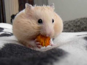 can hamsters eat a carrot