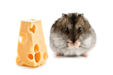 can dwarfhamsters eat cheese