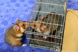 hamster allergies