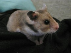 could hamsters see in the dark