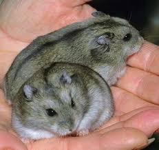 chinese hamsterbreeding