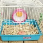 chinese dwarf hamster as pets