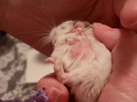 hamster mites pictures