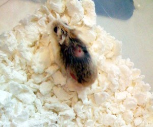 hamster treatment for mites