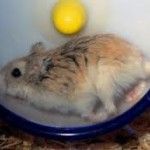 where to buy a roborovski hamsters