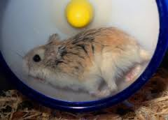 roborovski hamster accessories