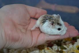 roborovski hamster care guide