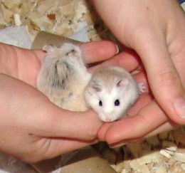 roborovski hamster on sale