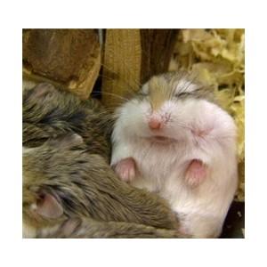 roborovski hamsters breeders
