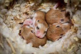 roborovski hamster tips