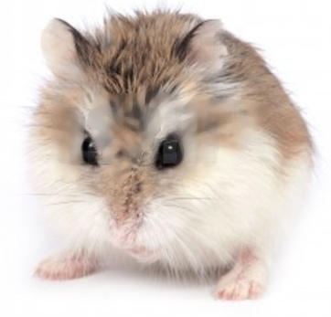 roborovski hamsters in the wild
