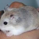 roborovski hamster pregnancy signs
