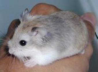 roborovski hamster pregnancy