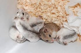 what does achinese hamsterlook like