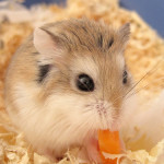 roborovski hamsters food
