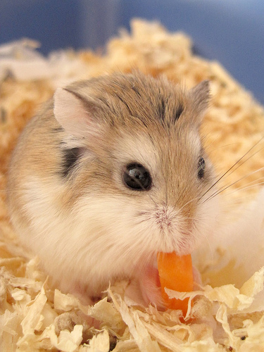 what to feed a roborovski hamsters
