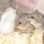 all aboutwinter white dwarf hamsters